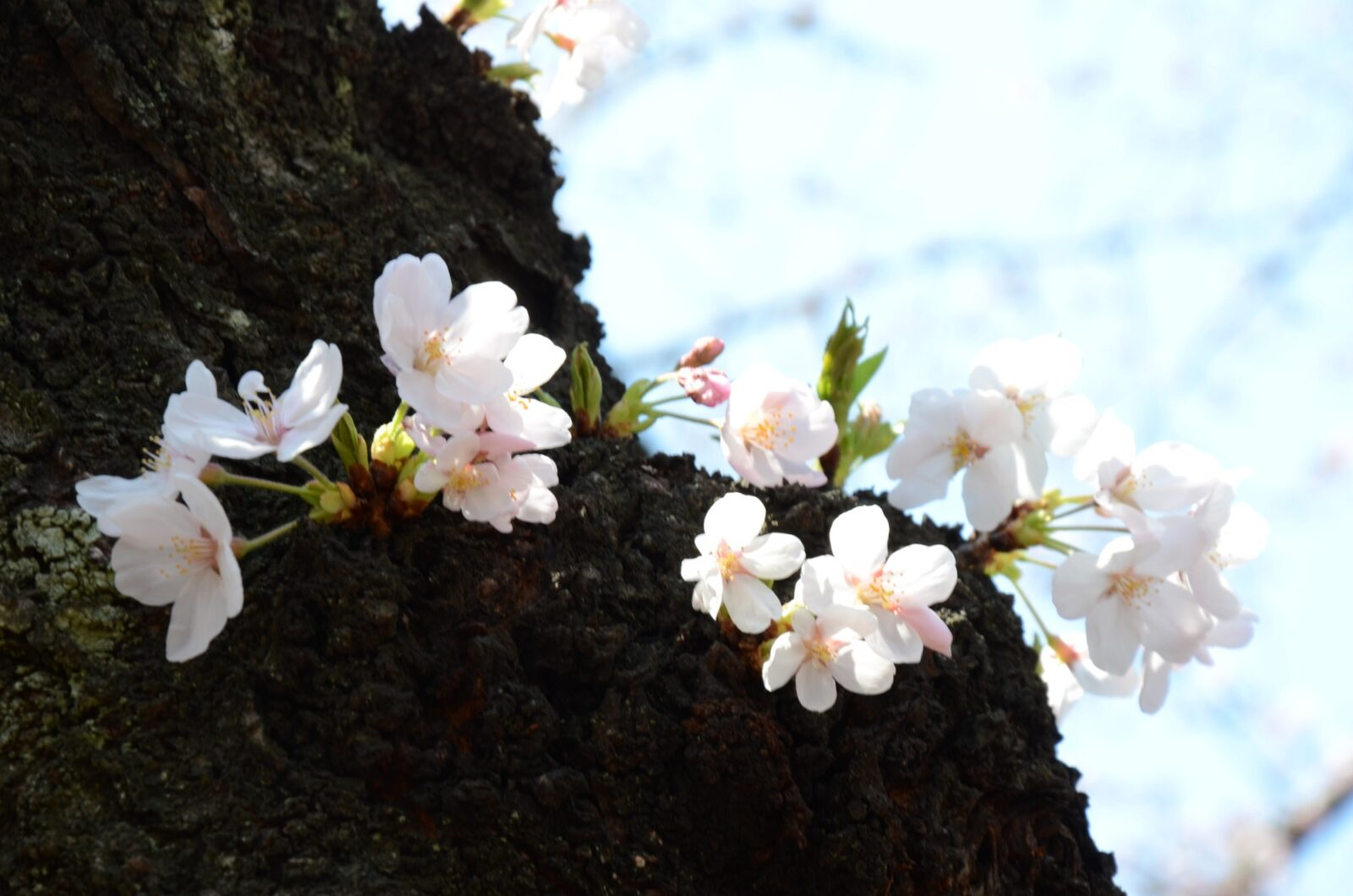 pink blossom around a tree trunk